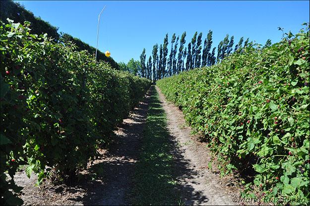 Campo de boysenberries, propiedad de Berry De'vine