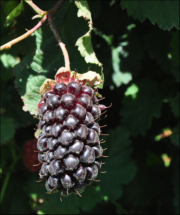 Boysenberry lista para coger