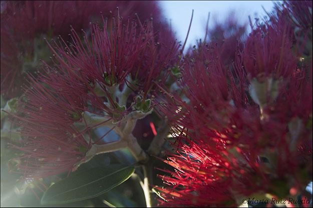 Flor del Pohutukawa