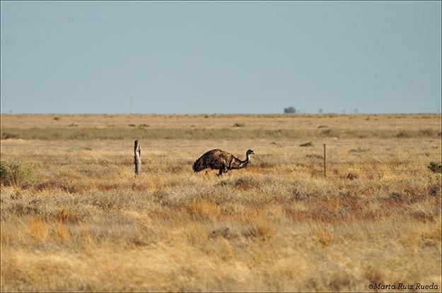 Emú paseando tranquilamente