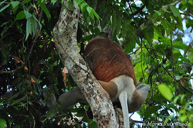 Espalda del mono narigudo