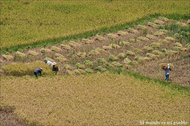 Locales trabajando en los campos de arroz