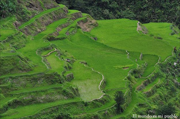 El verde intenso de los arrozales