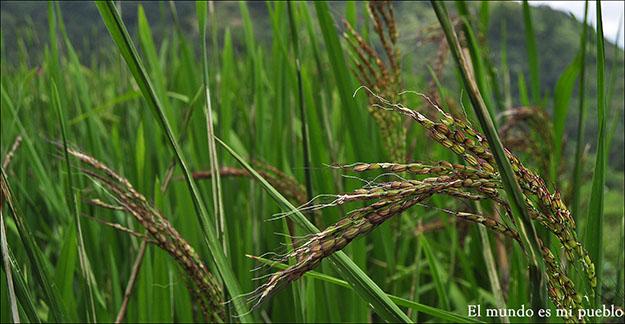 El arroz en la planta